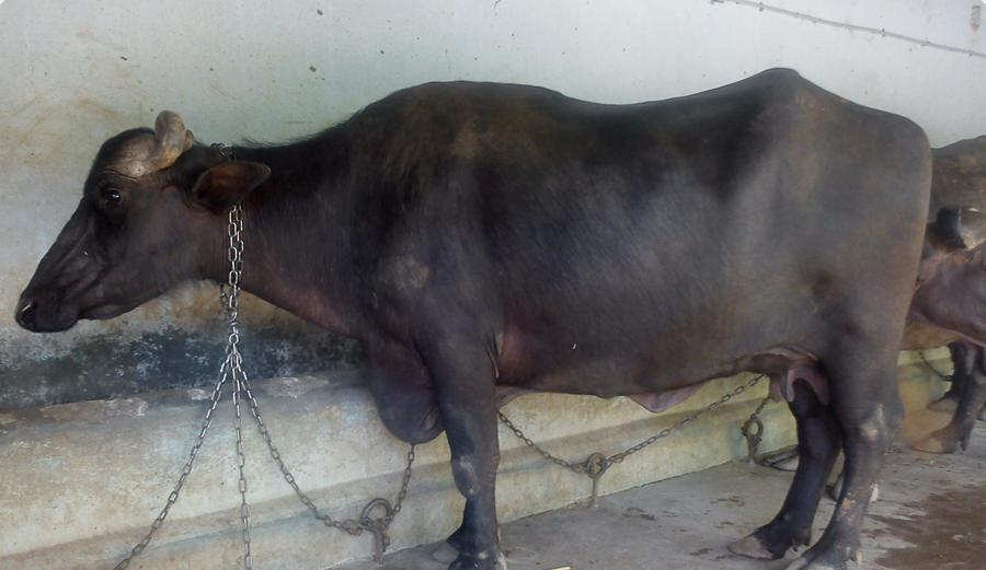 Livestock Buffalo, Livestock Cow - Utsav Dairy Farm, Mevad